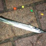 シモリウキ仕掛けで釣れたサヨリ